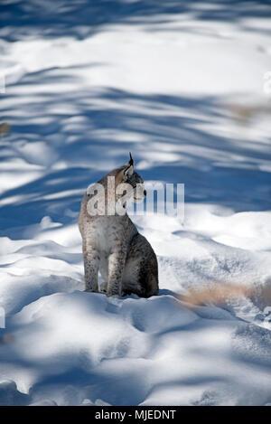 Eurasian lynx in the snow (Lynx lynx) - Stock Photo