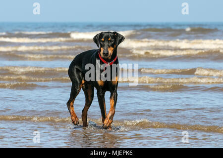 Southport, Merseyside. 5th May, 2018. UK Weather: Doberman Pinscher swimming to cool off, Southport, Merseyside. 5th May 2018.  'Charlie' the Doberman Pinscher paddles in the water to cool off in the incoming tide on the shoreline of Southport beach in Merseyside.  Credit: Cernan Elias/Alamy Live News - Stock Photo