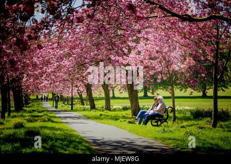 News: The Stray, Harrogate, North Yorkshire, United Kingdom. 05 May 2018. The Cherry blossoms finally emerge after the cold spell of weather. This is the first full day that they are out in full bloom on the Stray on a glorious day in Harrogate. Credit: Caught Light Photography Limited/Alamy Live News - Stock Photo