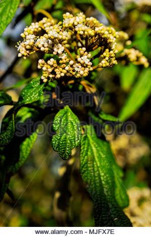 Viburnum rhytidophyllum, an evergreen shrub commonly called leatherleaf virbunum, in evening light just before blossoms open. - Stock Photo