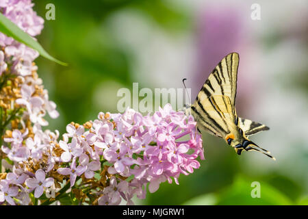 Eastern swallowtail butterfly (Papilio glaucus) on lilac bush flowers collecting pollen, blurred colorful background. - Stock Photo