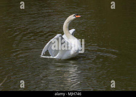 photo of a male Mute swan flapping his wings with reflections in the water - Stock Photo