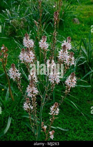 Close up of the Asphodelus aestivus growing wild in the Cyprus countryside - Stock Photo
