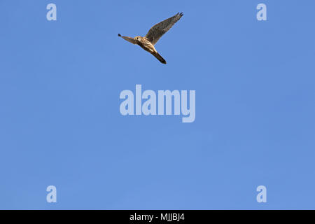 female kestrel Latin name falco tinnunculus with wings outstretched soaring upwards into the sky in late January in Italy - Stock Photo