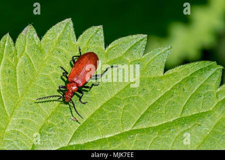 Red-headed cardinal beetle / common cardinal beetle (Pyrochroa serraticornis) on leaf of stinging nettle - Stock Photo