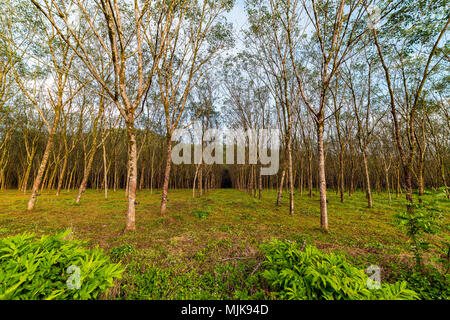 Rubber plantation ready for production. - Stock Photo