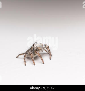Philaeus chrysops  - macro photo of jumping spider - Stock Photo