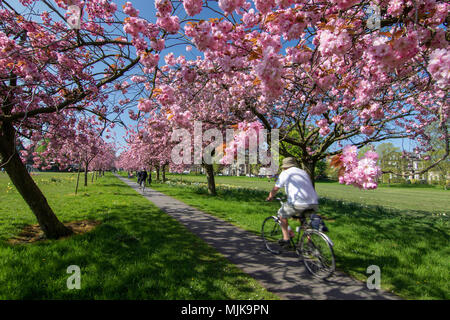 Pink Cherry Blossom in full bloom on Stray Reign,Harrogate,North Yorkshire,England,UK. - Stock Photo