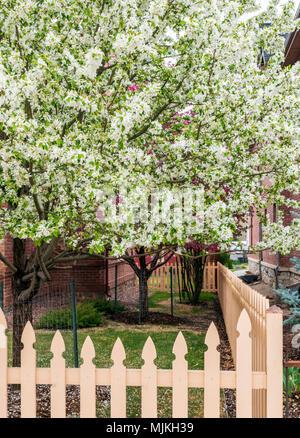Asian pear tree in full white springtime bloom; Salida; Colorado; USA - Stock Photo