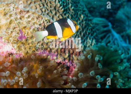 Yellowtail clownfish (Amphiprion clarkii  ,Bennett, 1830) .Palau - Stock Photo