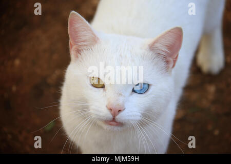 A cat with heterochromia walking in the garden. - Stock Photo