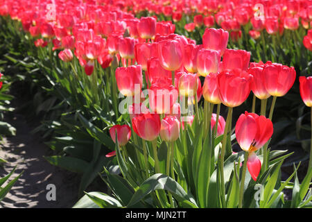Beautiful sunlit tulips growing in a field during the Skagit Valley Tulip Festial in Mount Vernon, WA, USA.  One of the petals has dropped down on the - Stock Photo