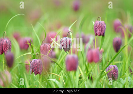 Snakes head fritillary flowers in a field. Endangered flowers - Stock Photo