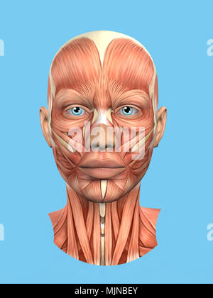 Anatomy side and front view of major face muscles of a man Stock ...