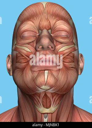 Anatomy of face and neck muscle. - Stock Photo
