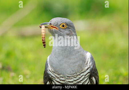 The common cuckoo up close - Stock Photo