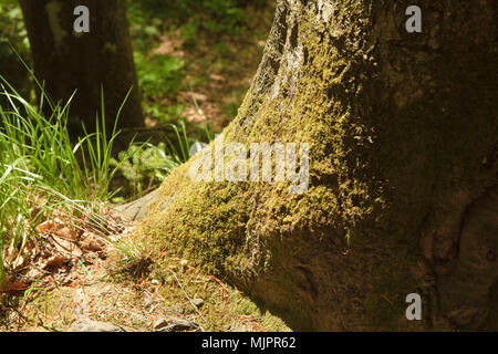 tree trunk covered by moss in spring strong sun - Stock Photo