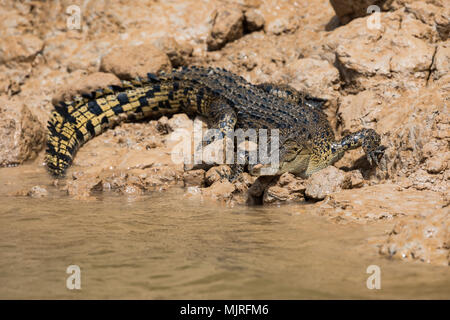 An Australian saltwater crocodile (Crocodylus porosus) on the muddy bank of the Daly River in northern Australia - Stock Photo