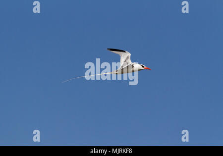 A Red-billed Tropic Bird, Phaethon aethereus, in flight isolated against blue sky, Genovesa Island, Galapagos Islands - Stock Photo