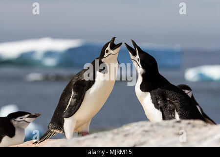 A pair of chinstrap penguins (Pygoscelis antarcticus) greeting each other with a mating display with icebergs in background, Antarctica - Stock Photo