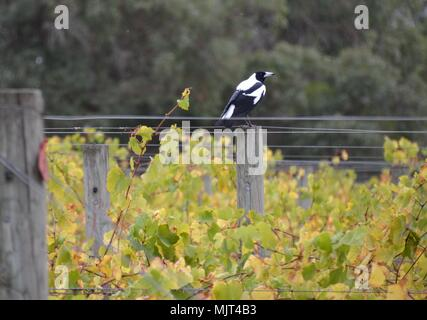 Magpie bird atop a post amongst the vines in a vineyard in Australia - Stock Photo