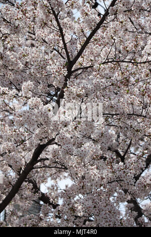 Fully blossoming cherry tree in the South Korean city of Daegu, where the trees bloomed two weeks earlier than usual in April, 2018. - Stock Photo