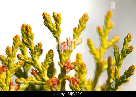 thuja tree foliage and small cones variety thuja orientalis Latin arbor-vitae cupressaceae close up in spring in Italy - Stock Photo