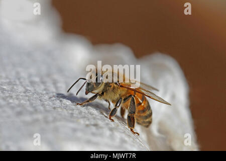 honey bee or worker bee extreme close up Latin apis mellifera crawling on a white cloth in Italy in springtime - Stock Photo