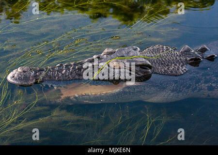 Close up of head of a large Australian saltwater crocodile (Crocodylus porosus) partially underwater, Northern Territory, Australia - Stock Photo