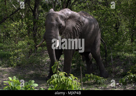 An African Bush Elephant emerging from the foliage in Tanzania - Stock Photo