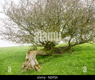 Twisted misshaped hawthorn tree bent over by wind on top of chalk down grassland, Vale of Pewsey, Wiltshire, England, Uk - Stock Photo