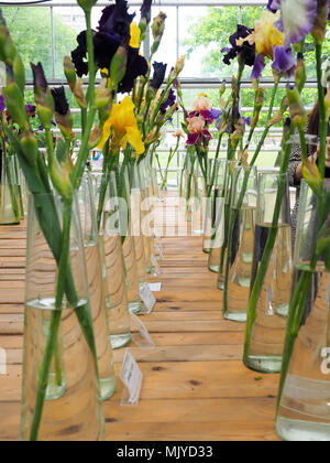 Motley iris flowers in vases, Violet and yellow iris flowers in a vase, plant - Stock Photo
