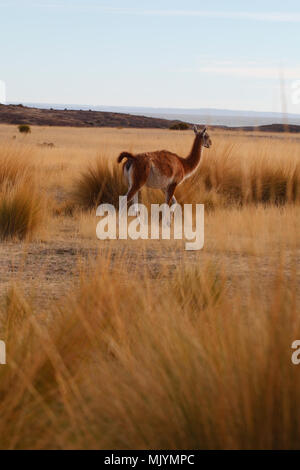 Guanaco amongst the pampas grass. Cabo dos bahias, Patagonia. Tail raised in alarm. - Stock Photo