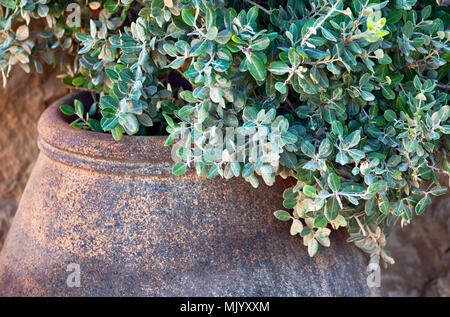Green plant in stone pot. Close-up. - Stock Photo