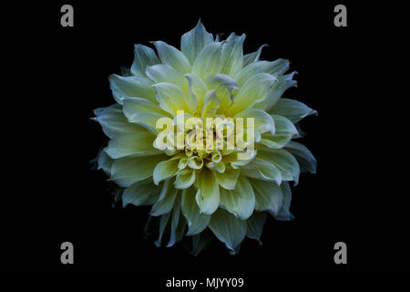 Closed composition of Chinese White Dahlia flower against black background - Stock Photo