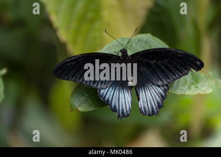 Black and blue papilio lowi zephyria exotic butterfly sitting on a green leaf - Stock Photo