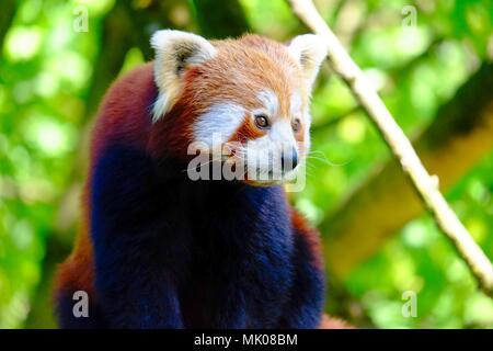 Red panda, a small Asian bear, climbed on a tree - Stock Photo