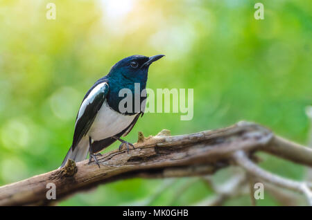 Bird Black and white Oriental magpie robin Birds fly Blurry background, natural green - Stock Photo