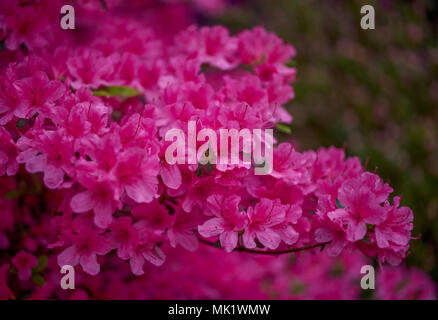 Pink azalea flowers close up pink rhododendron blossom close up Rhododendron hinomayo blooming - Stock Photo