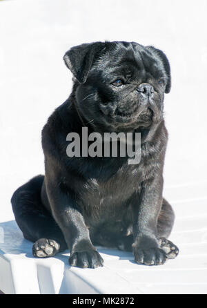 Close-up of a black Pug sitting in sunny day - Stock Photo