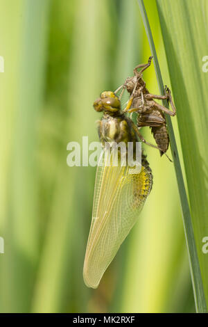 15 of 22. Adult Broad-bodied chaser dragonfly emerging from larval case. complete sequence. exuvia, exoskeleton, Libellula depressa, May, Sussex UK. - Stock Photo