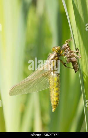 17 of 22. Adult Broad-bodied chaser dragonfly emerging from larval case. complete sequence. exuvia, exoskeleton, Libellula depressa, May, Sussex UK. - Stock Photo