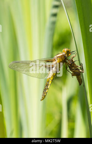 19 of 22. Adult Broad-bodied chaser dragonfly emerging from larval case. complete sequence. exuvia, exoskeleton, Libellula depressa, May, Sussex UK. - Stock Photo