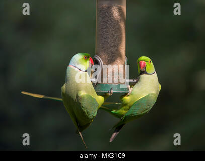 Wimbledon, London, UK. 6 May, 2018. Ring Necked Parakeets, Britain's only naturalised parrots feed in warm evening sun on a bank holiday weekend, battling for space on a small bird feeder. Credit: Malcolm Park/Alamy Live News. - Stock Photo