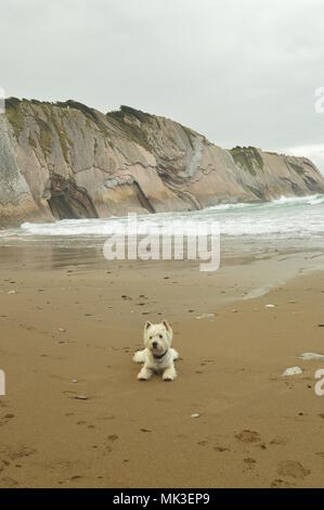 Dog Westh Highland White Terrier Enjoying A Day Of Beach With Formations Of The Flysch Type Of The Paleocene Geopark Basque Route UNESCO. Shooting Gam - Stock Photo