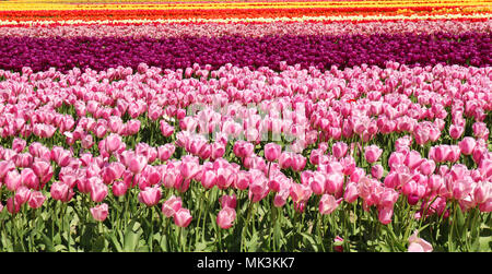Field of tulips in rows at the Skagit Valley Tulip Festival in Mount Vernon, WA, USA - Stock Photo