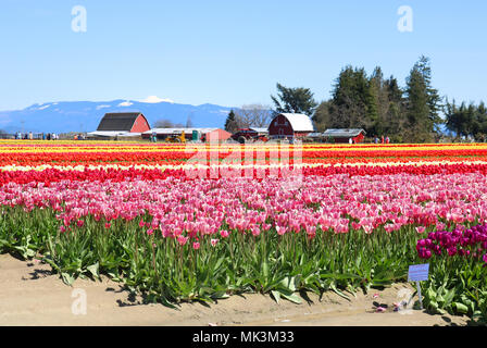 Tulips growing in a field during the Skagit Valley Tulip Festival in Mount Vernon, WA, USA at Tulip Town. - Stock Photo