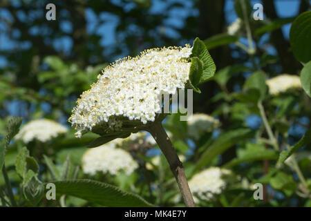 White flowers of the wayfaring tree (Viburnum lantana) in Surrey, UK, during spring - Stock Photo