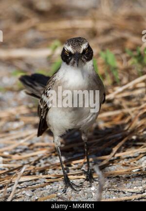 Galapagos Mockingbird (Mimus parvulus) standing on the ground, Genovesa Island, Galapagos Islands, Ecuador - Stock Photo