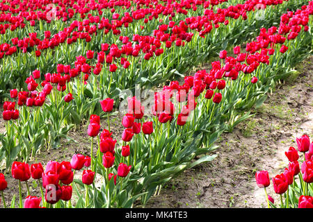 Rows of red tulips during the Skagit Valley Tulip Festival in Mount Vernon, Washington, USA. - Stock Photo
